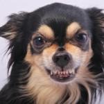 Mijn Kanjer, de Chihuahua Iwan (de verschrikkelijke) had vreselijk moeite met alleen zijn