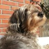 Lilo: de 11 jarige wakende teckel